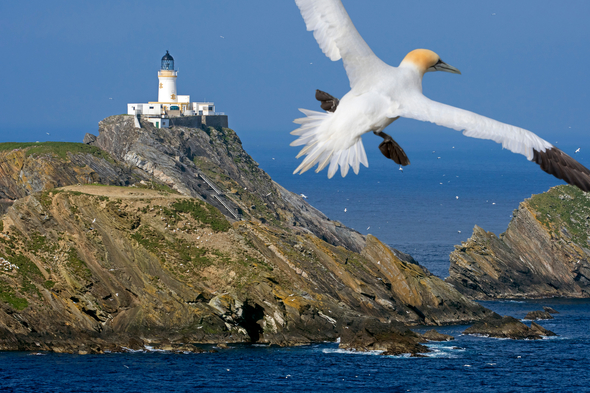 Northern gannet over Unst, Shetland Islands