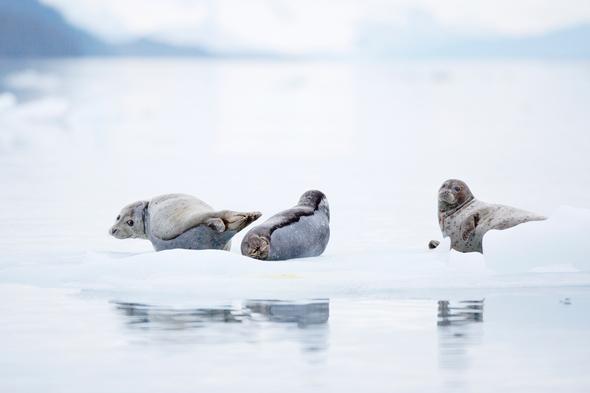 Seals in the Arctic