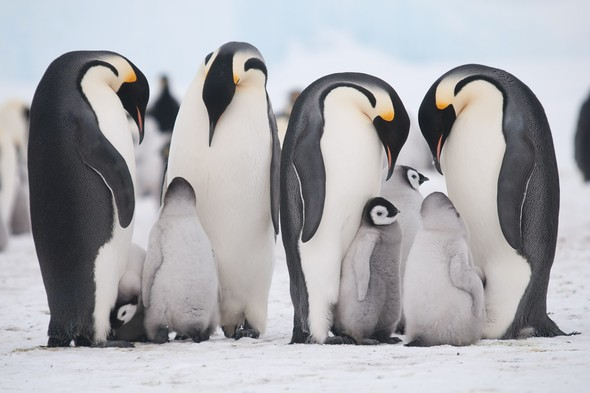 Emperor penguins on Snow Hill Island, Weddell Sea, Antarctica