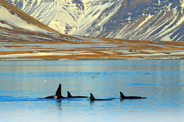 Killer whales in Iceland