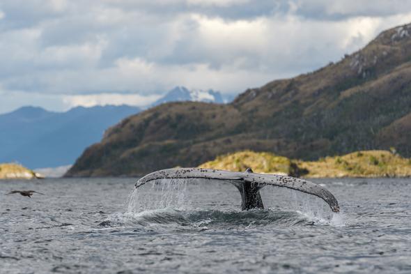 Humpback whale tail in Parque Marino Francisco Coloane, Patagonia