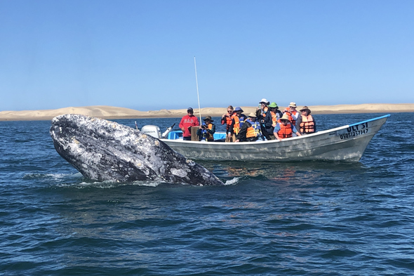 Gray whales in Magdalena Bay, Mexico