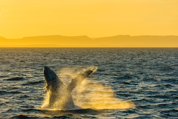 Whale breaching in the Sea of Cortez