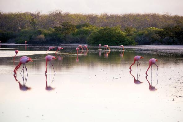 Flamingos on Floreana, Galapagos