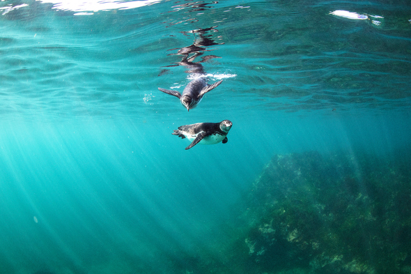 Galapagos penguins under the water