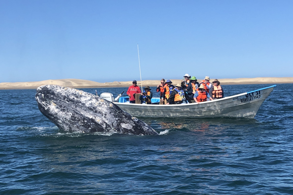Gray whale in Magdalena Bay, Mexico