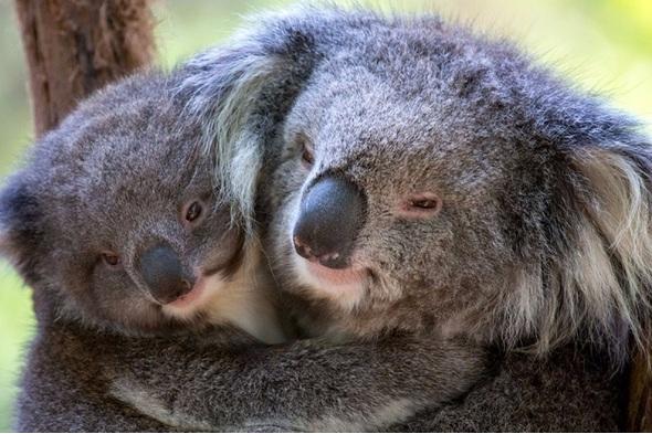 Koalas in Victoria Zoo, Australia