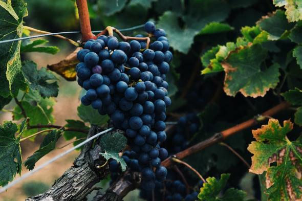 Vineyard in the Bordeaux region of France