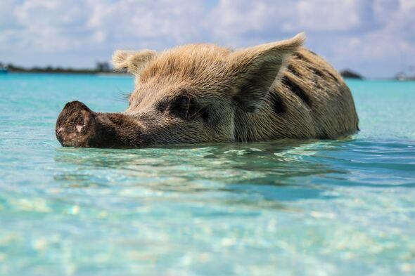 Swimming pigs, Big Major Cay, Bahamas