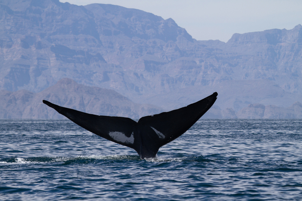 Blue whale in the Sea of Cortez, Mexico