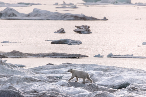 Polar bear in the Arctic on a Silversea expedition cruise
