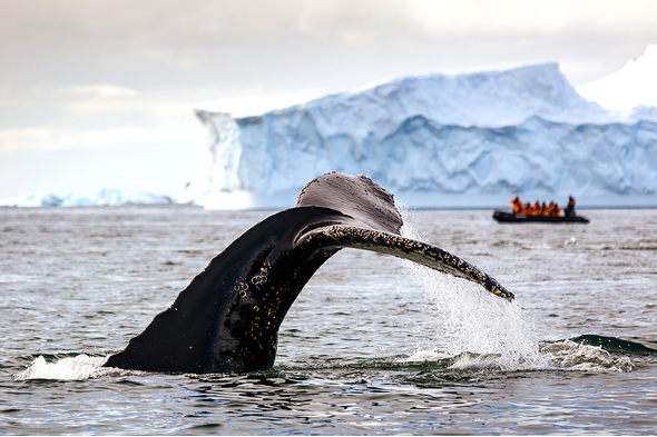 Whale watching in Antarctica with Quark Expeditions