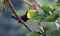 Rainbow toucan, Costa Rica