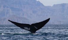 Blue whale, Sea of Cortez