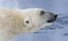 Polar cruises - Bear in Svalbard