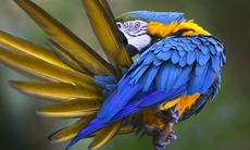 Amazon river cruises - Blue and yellow macaw