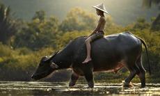 India & Far East expedition cruises - Buffalo in Cambodia