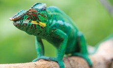 Africa expedition cruises - Chameleon in Madagascar