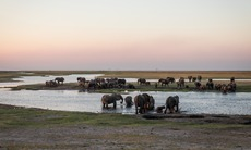 Chobe river cruise - Elephants in Botswana