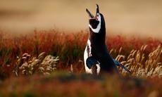 Magellanic penguin on the Falkland Islands