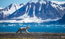 Polar bear on Spitsbergen, Svalbard archipelago