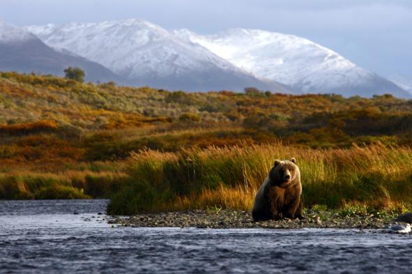 Brown bear in Kodiak, Alaska