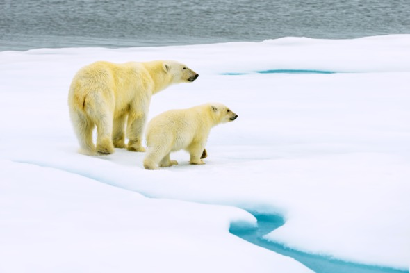 Polar bear with cub in Svalbard, Norway