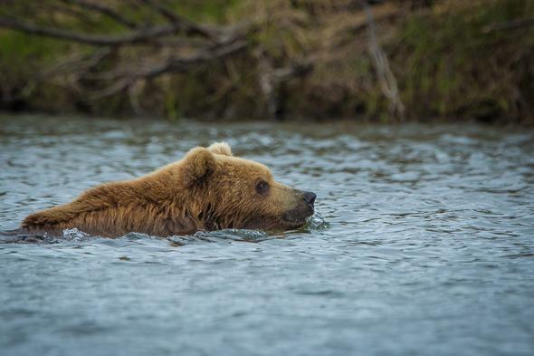 Russian Far East cruises - Kamchatka brown bear