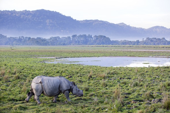 Rhino in Kaziranga National Park, one of the highlights of a Brahmaputra river cruise
