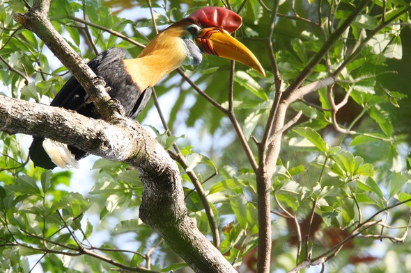 Knobbed hornbill in Tangkok National Park, Sulawesi