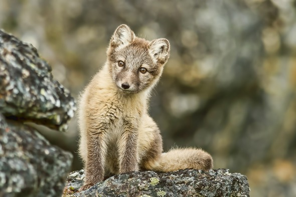 Arctic fox in Svalbard