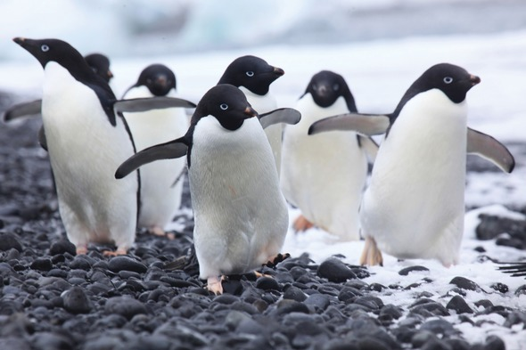 Silversea Expeditions - Adélie penguins in Antarctica