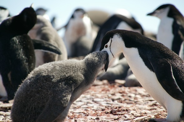 Chinstrap penguins on the South Shetland Islands, Antarctica