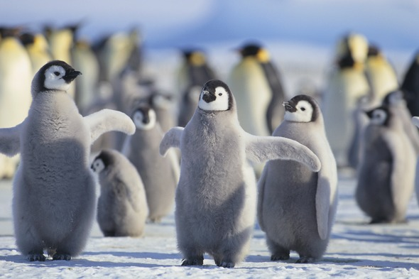 The White Continent - Penguins