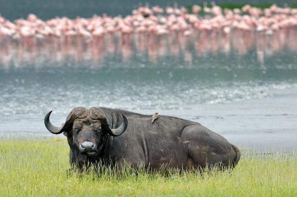 Safari so good - Water buffalo, Kenya