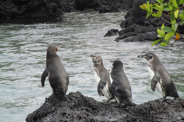 Galapagos penguins on Isabela