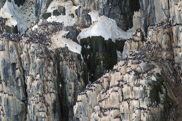 Bird cliffs in Svalbard