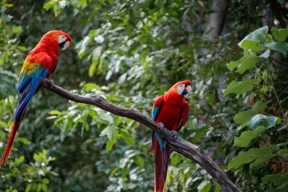 Scarlet macaws in the Amazon