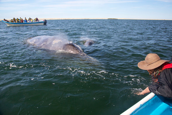 Whale watching in the Sea of Cortez