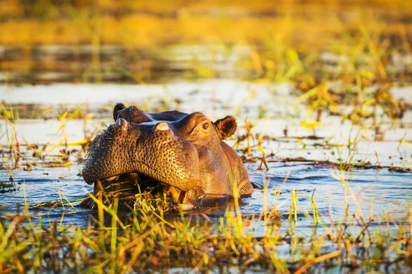 Chobe river cruises - Hippo
