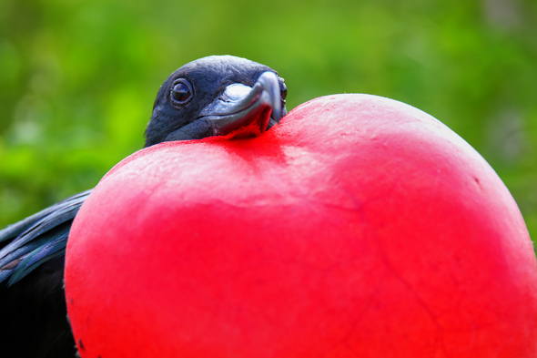 Galapagos cruises - Great frigatebird