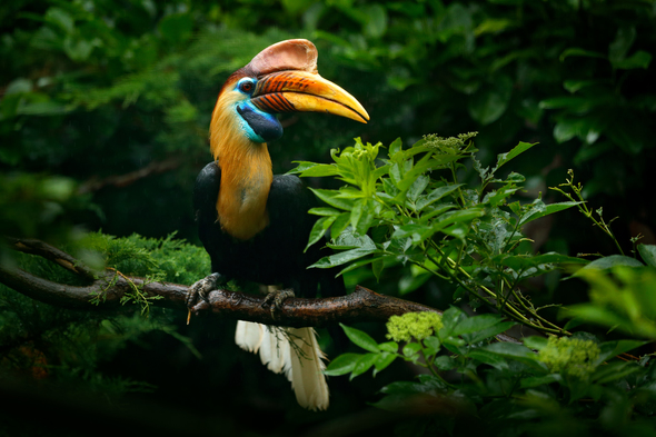 Indonesia, Borneo & Papua New Guinea expedition cruises - Knobbed hornbill in Sulawesi