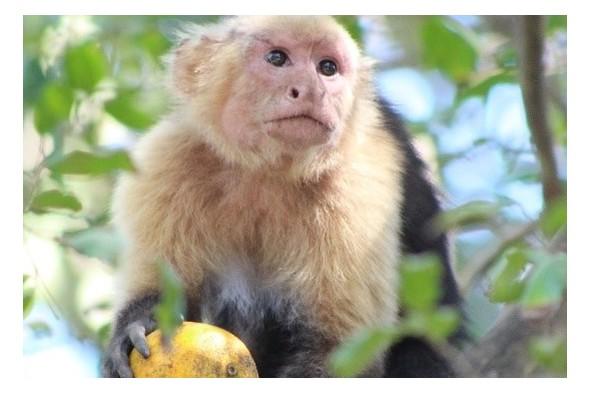 Monkey in Curu Wildlife Reserve, Costa Rica
