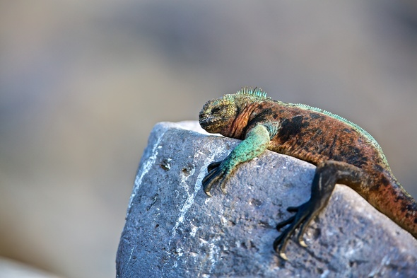 See iguanas and more on our pick of the best Galapagos cruises