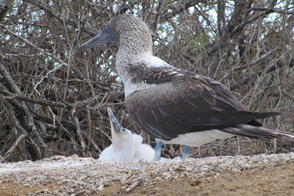 Blue-footed booby with chick on Floreana, Galapagos