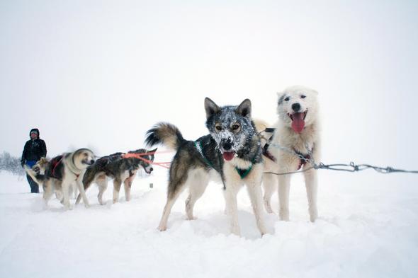 Hurtigruten - Huskies in Norway