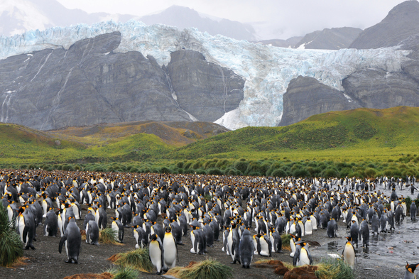 Penguins in South Georgia