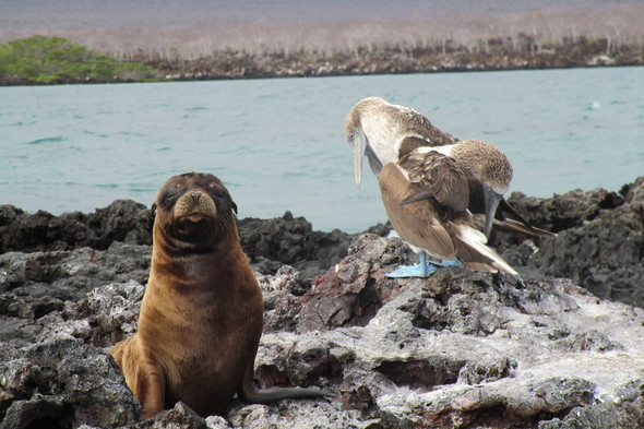Sea lion and blue-footed boobies on Isabela, Galapagos