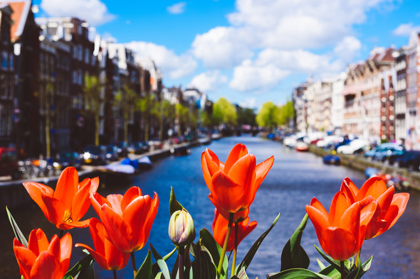 Tulips in Amsterdam, Netherlands