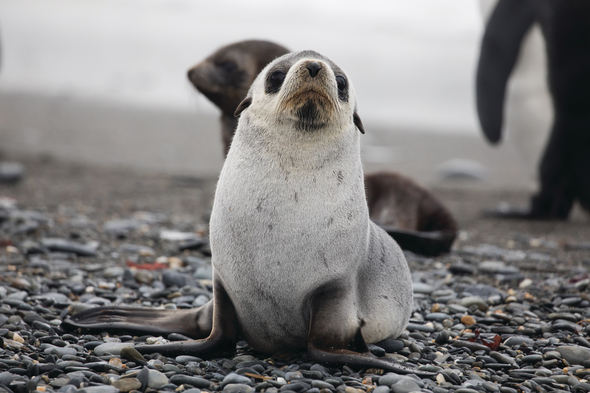 Seal pups in South Georgia